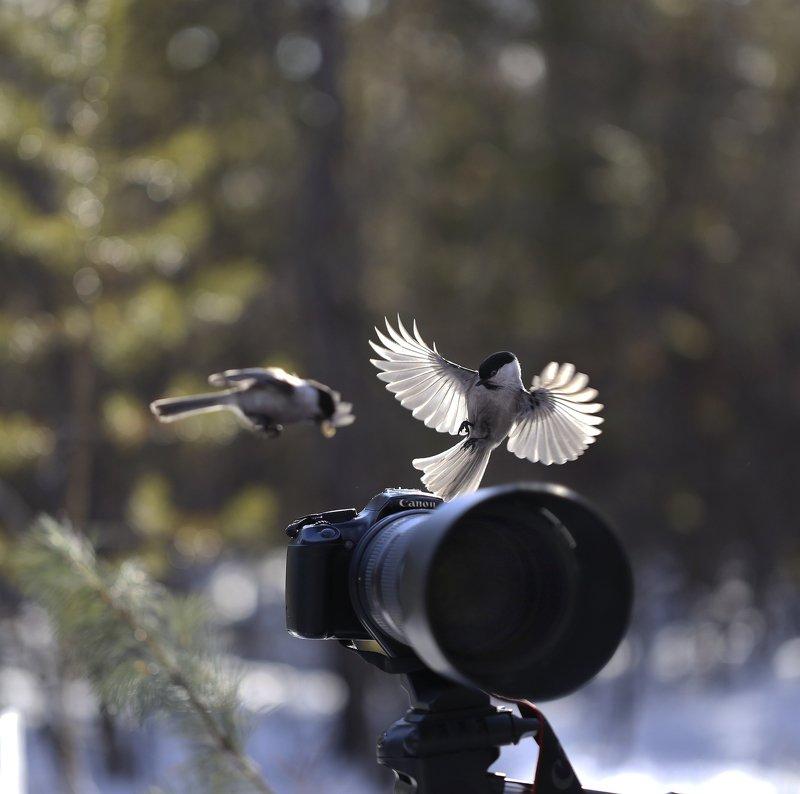 якутия, нерюнгри, гаичка, птицы Так вот откуда птичка вылетает!photo preview