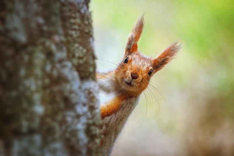 moment, момент, beautiful, красивый,  nature, природа, close-up, крупный план, manual lens, мануальная оптика, юпитер-37а, animal, животное,  forest, лесное, red, рыжая, squirrel, белка,  portrait, портрет, Грызун-очаровашка :)photo preview