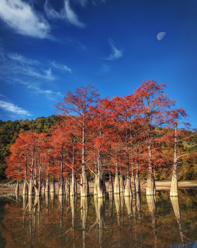 болотные кипарисы, озеро, сукко, осень, Болотные Кипарисы на озере Суккоphoto preview