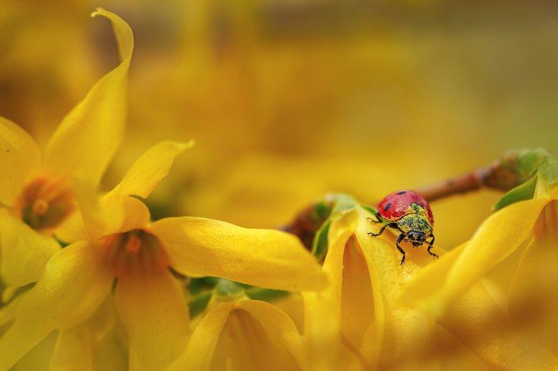 moment, момент, beautiful, красивый,  nature, природа, macro, макро, macro lens, tokina 100 macro, flowers, цветы, spring, весенние, yellow, желтые, forsythia, форзиция, insect, насекомое, redbug, букашка, ladybug, божья коровка, pollen, пыльца, Про пыльцу-вкусняшку и изголодавшуюся букашку :)photo preview