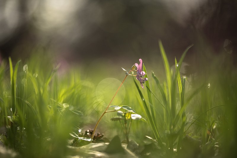 хохлатка, первоцвет, свет, апрель, весна, позитив, воронеж, Апрельское утро...photo preview