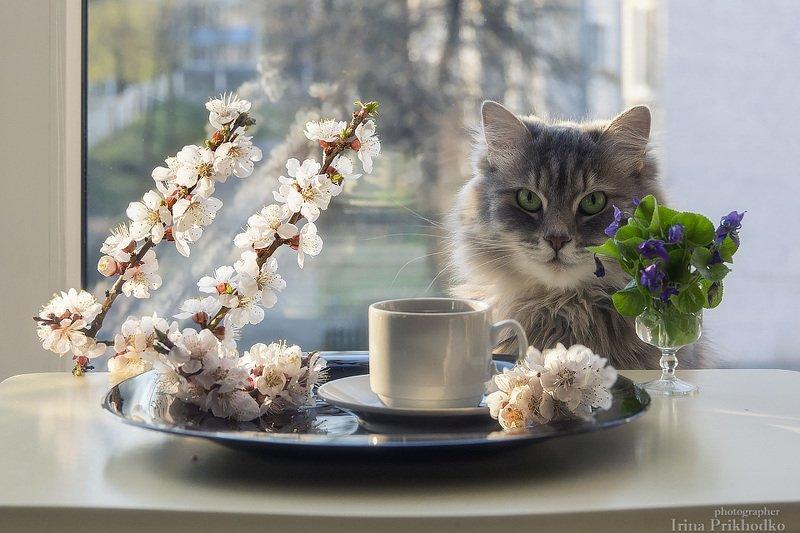 домашние животные, кошка  Масяня, натюрморт, утро, кофе, цветущие ветки абрикос, фиалки С добрым утром!photo preview