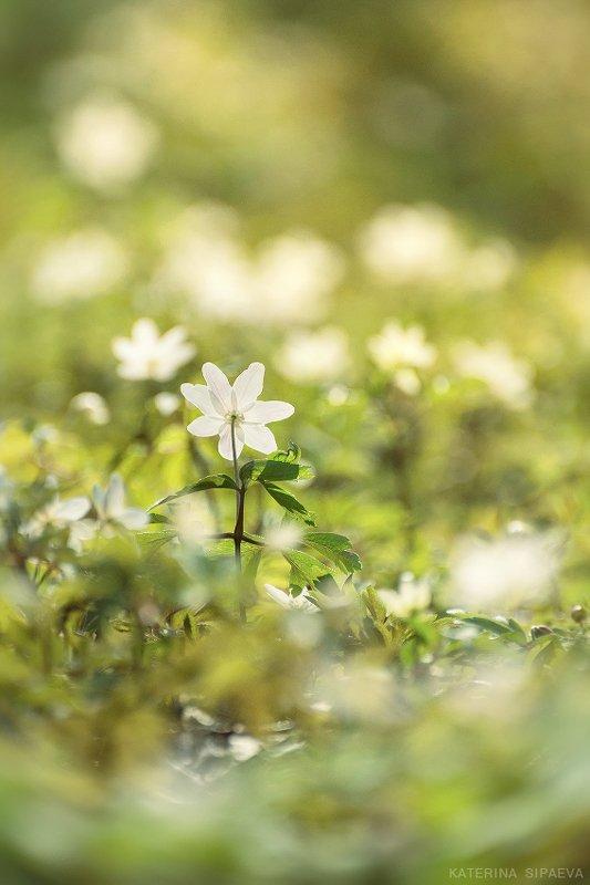 природа, весна, цветы Анемона - дочь ветровphoto preview
