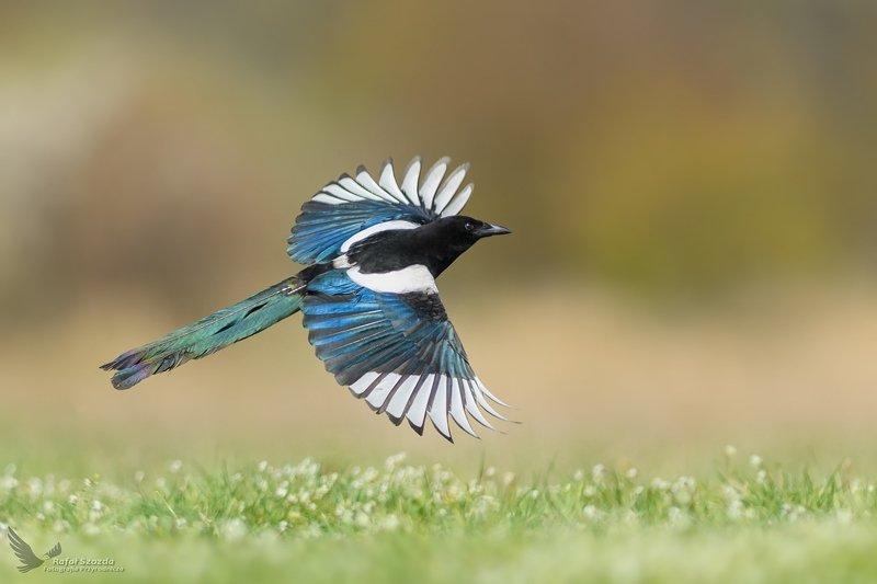 birds, nature, animals, wildlife, colors, spring, flight, nikon, nikkor, lens, flowers, sunlight, lubuskie, poland Wiosenny akcent ... Sroka, Eurasian Magpie (Pica pica) ... 2019rphoto preview
