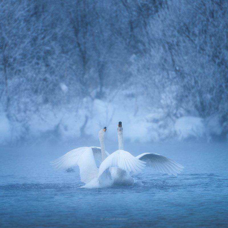 лебеди, алтай, зима Зовущие рассвет...photo preview