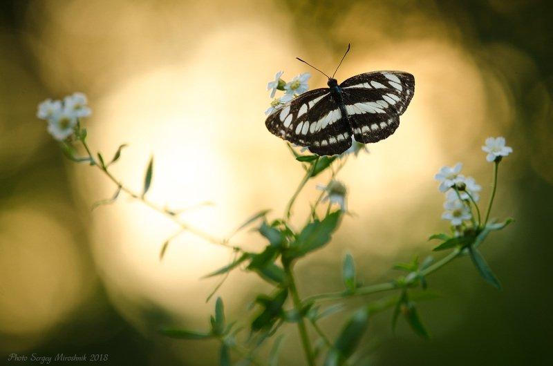 бабочка, природа, макро, лето, красиво, украина, крылья, цветок Пеструшка Сапфоphoto preview