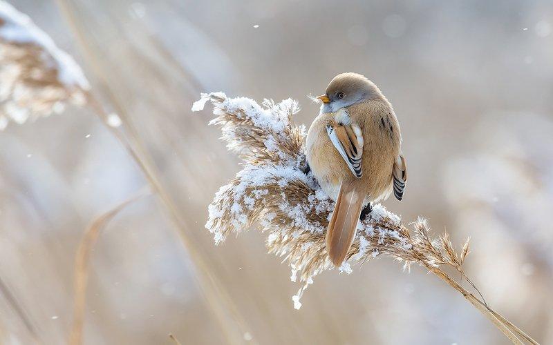 синица, усатая синица, зима, камыш, птица, дикая птица, орнитология, дикая природа, фотоохота, Усатая синица. (Барышня) фото превью