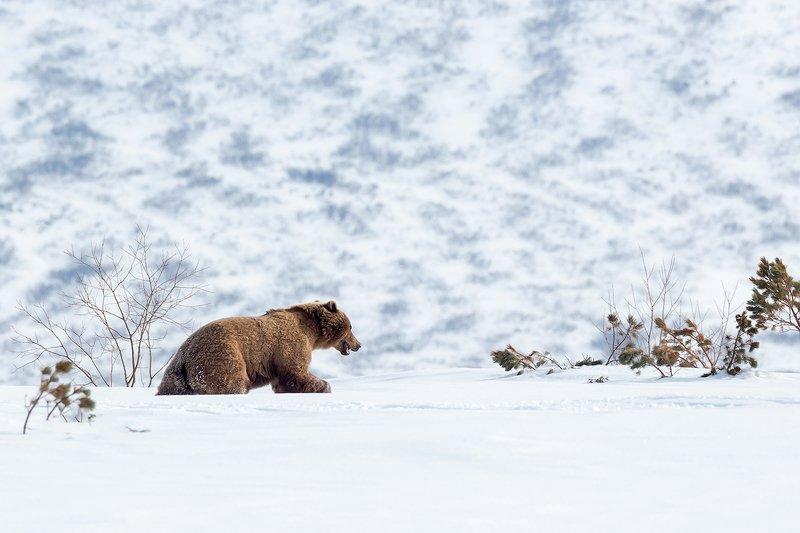 камчатка, медведь, снег, животные, природа, путешествие, фототур, весна Мишка на снегуphoto preview