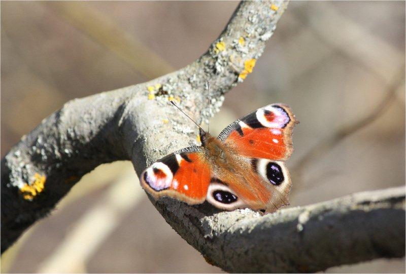 бабочка, павлиний глаз Павлиний глаз(Aglais io)photo preview