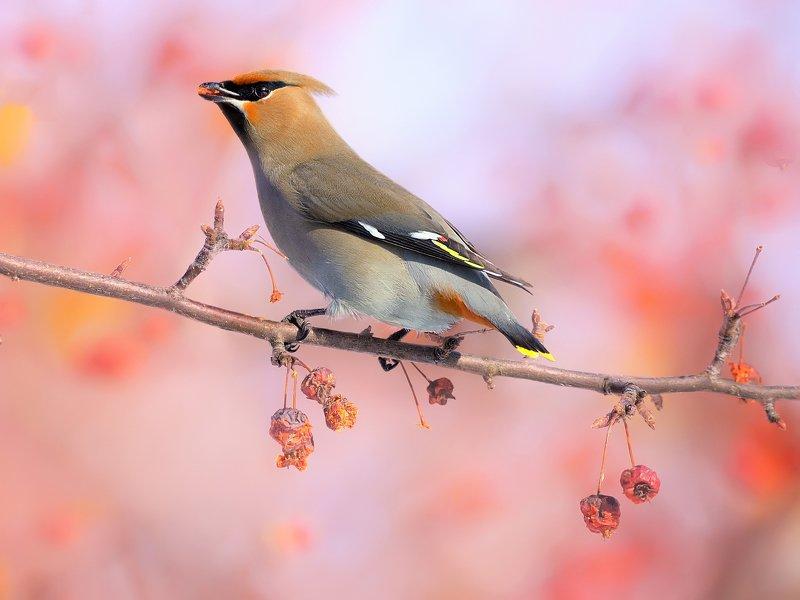 природа, фотоохота,  птицы, животные, свиристели Зимние птицыphoto preview