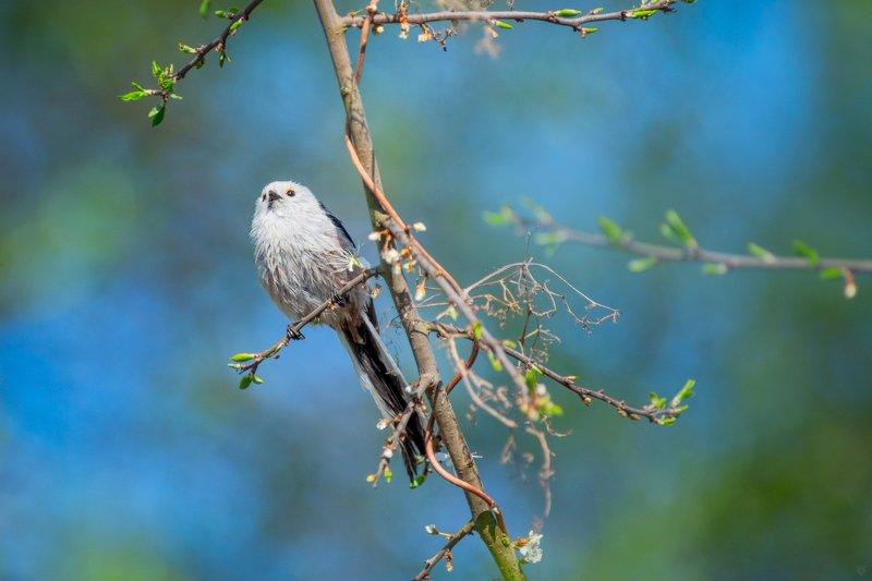 Aegithalos caudatus, wildlife, bird, Long-tailed tit Aegithalos caudatusphoto preview