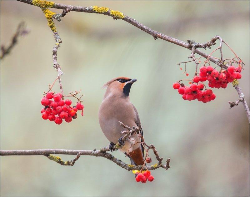 свиристель птица Свиристельphoto preview