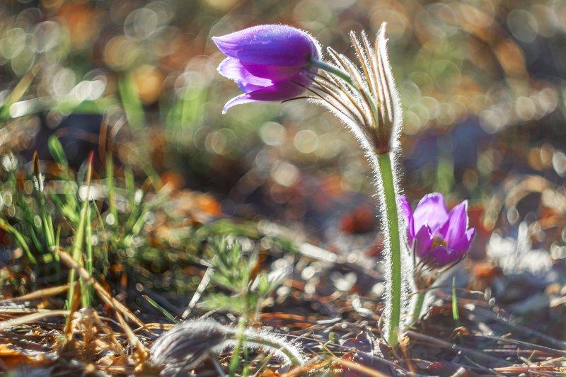 весна, сон-трава, первоцвет, заповедник, лес photo preview