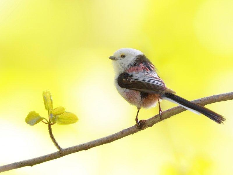 природа, птицы, животные,весна,синица длиннохвостая, фотоохота Я оглянулся посмотреть, не оглянулась ли она…photo preview