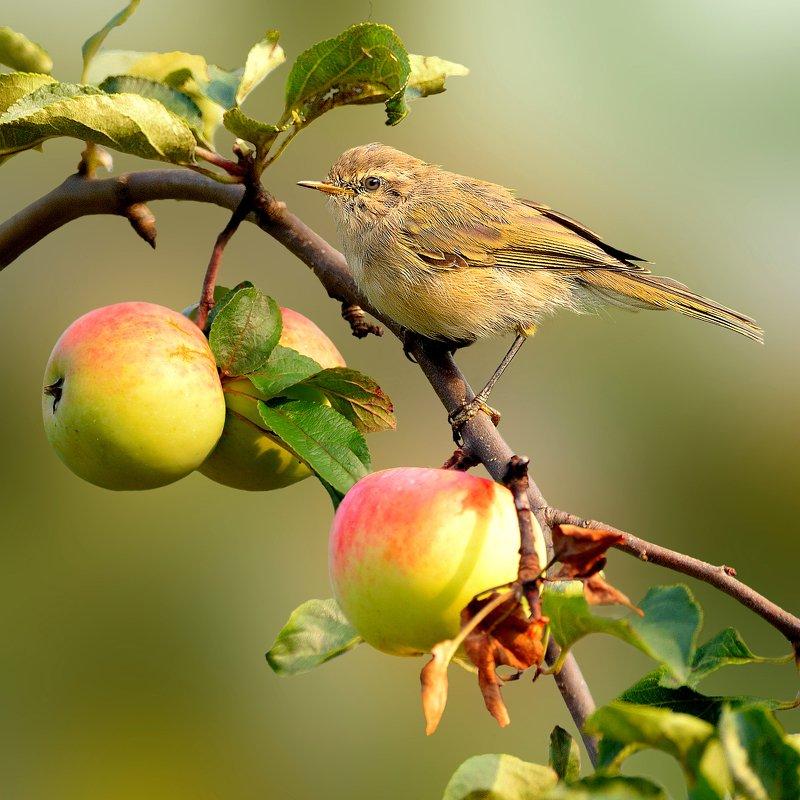 природа, фотоохота, пеночка, птицы, животные, яблоня Проверено – вредителей  нетphoto preview
