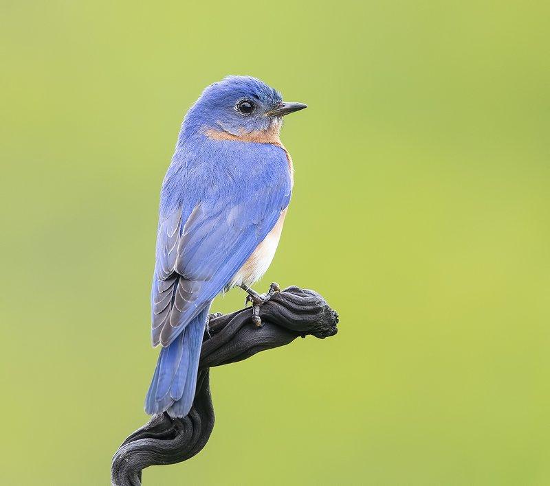восточная сиалия, eastern bluebird,bluebird Восточная сиалия самец -Eastern Bluebird Malephoto preview
