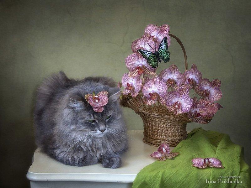 котонатюрморт, цветочный натюрморт, композиция цветов орхидеи, кошка Масяня,  Мадам Баттерфляйphoto preview