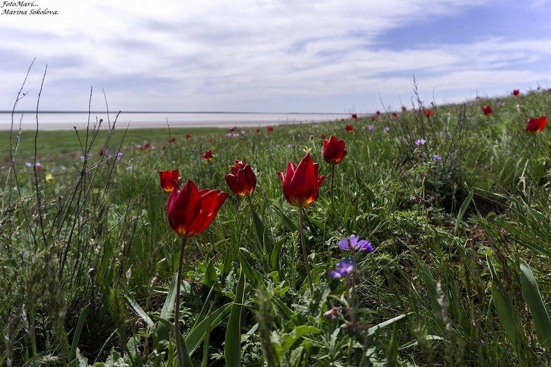 Красные тюльпаны.photo preview