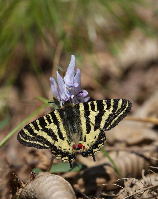 бабочка людорфия пуцило luehdorfia puziloi  приморье апрель Самая весенняяphoto preview