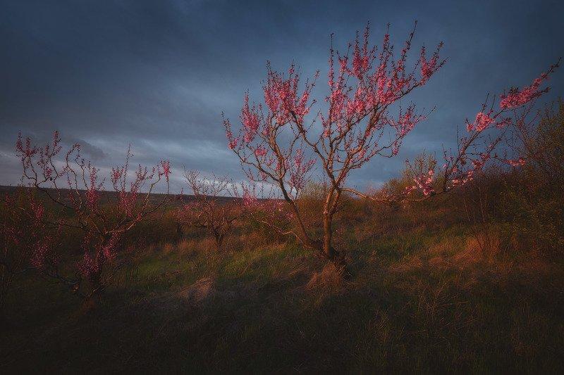 Персиковый сад на закате.photo preview