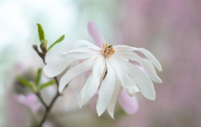 магнолия,природа,цветы,макро,розовый,листья,бутон, Время магнолийphoto preview