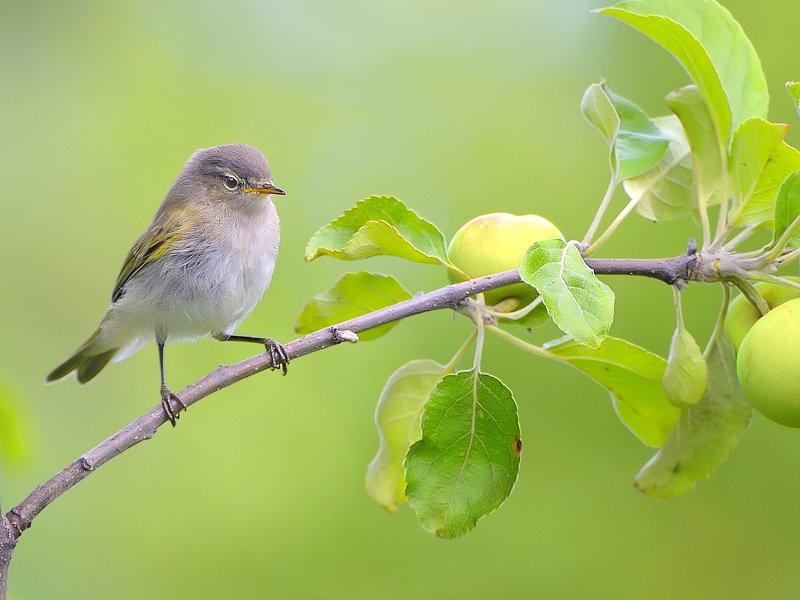природа, фотоохота, пеночка, птицы, животные,  лето Защитник садаphoto preview
