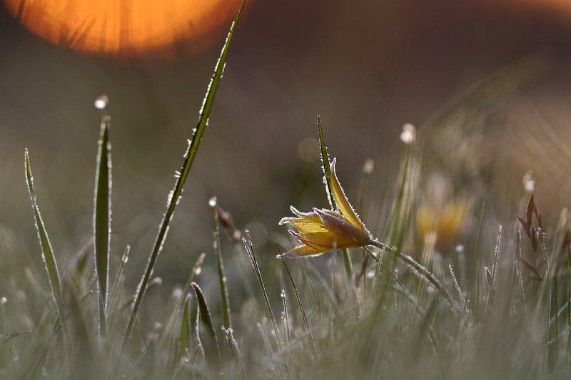 тюльпан, дубравный, tulipa, самарский лес, биберштейна, biebersteiniana, солнце, иней, рассвет Холодный рассветphoto preview