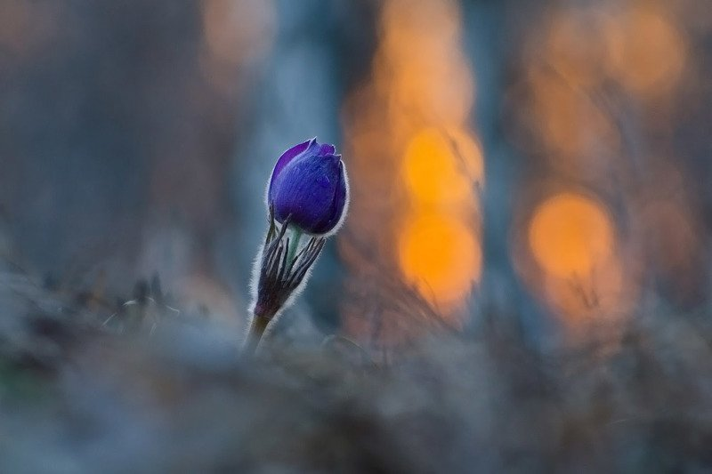 сон - трава, прострел, закат, природа Эффект закатаphoto preview