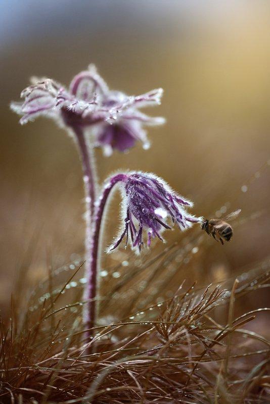 макро, макрофото, цветок, пчела, дождь, лес, природа, капли, никон, сигма, гелиос, macro, macro, snail, mushroom, rain, forest, nature, drops, nikon, sigma, sigma105, Встречаphoto preview
