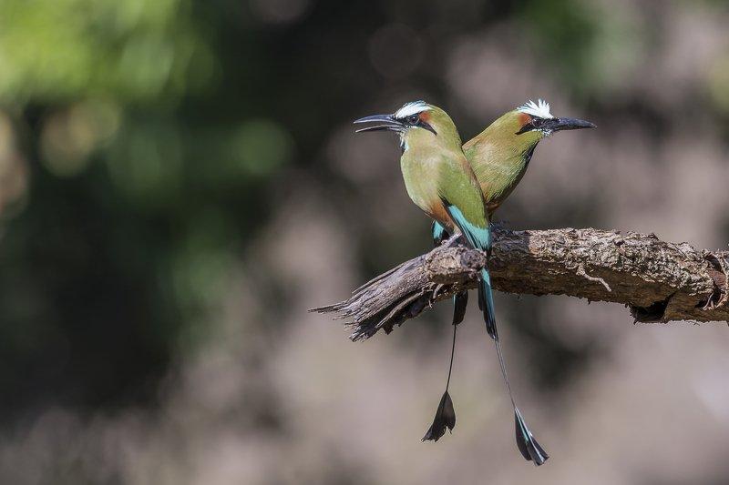 Turquoise-browed Motmot (Eumomota superciliosa) Momoto Cejiceleste (Pájaro Bobo) Rphoto preview
