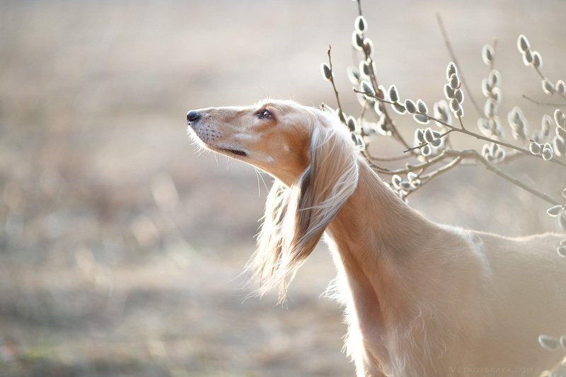 saluki, sighthound, dog Spring timephoto preview