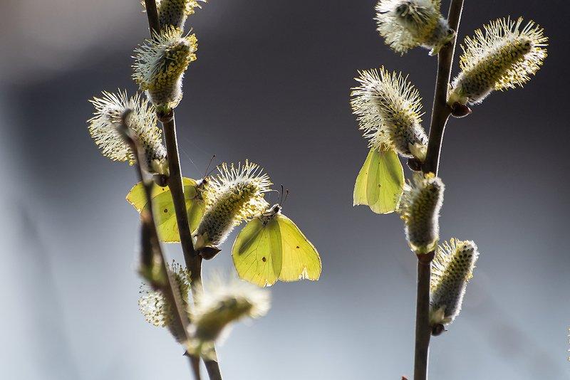верба, бабочки, вербное воскресенье, весна, мещёра, рязанская область Привет из Вербного воскресенья …photo preview