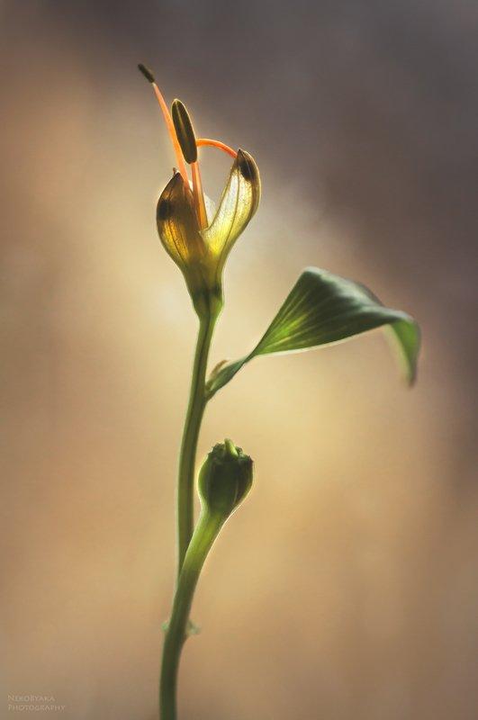 макро, цветы, природа, тычинки, macro, flowers, nature, stamens, альстермерия, Alstermeria ***photo preview