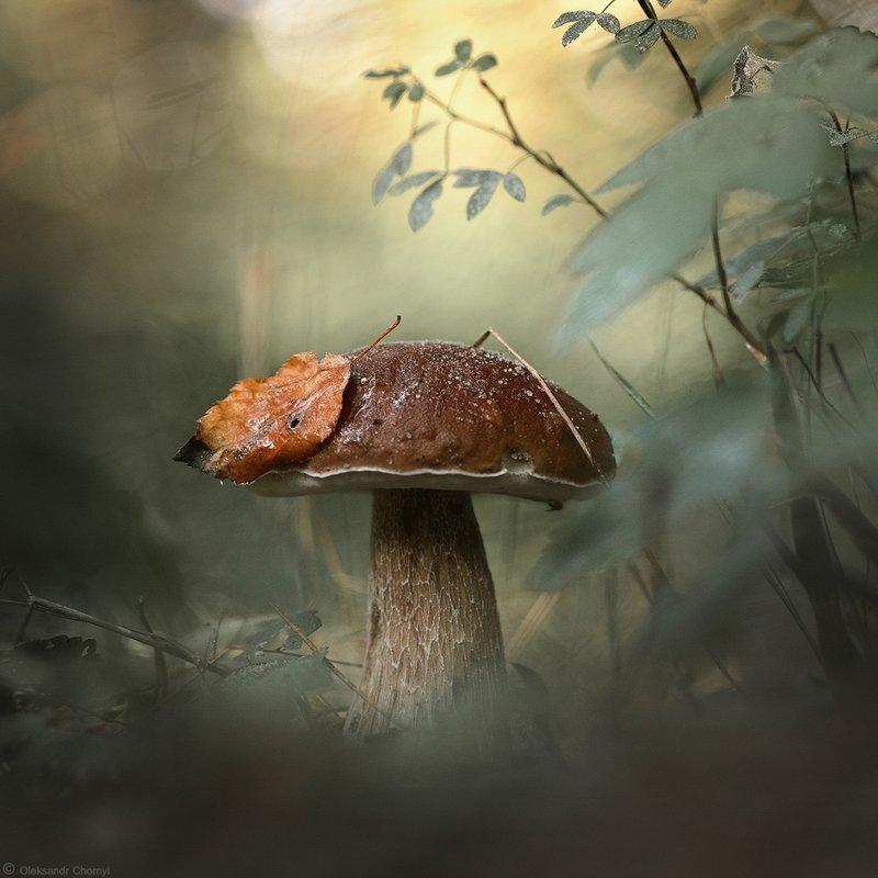 украина, коростышев, лес, гриб, белый, макро, макро мир, макро красота, волшебство, сказка, красота, жизнь, мир, тишина, трава, зеленый, фон, боке, лето, осень, листик, глубина, фотограф, чорный, Идём, как в сказку, по грибы...photo preview
