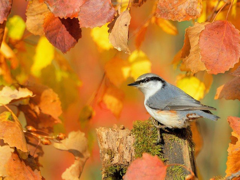 природа, фотоохота, поползень, птицы, животные, осень, листья осины Птицы и осеньphoto preview
