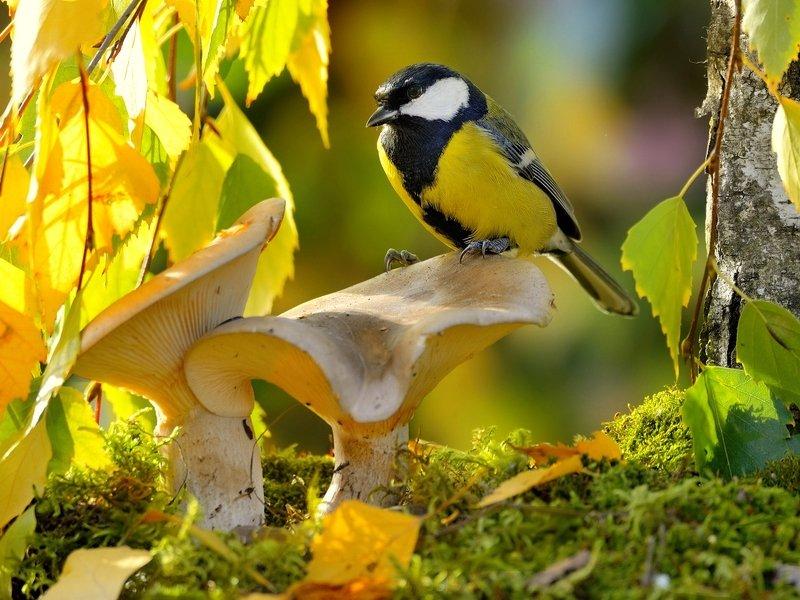 природа, фотоохота, синица, птицы, животные, осень, листья березы, грибы Птицы и осень 2photo preview