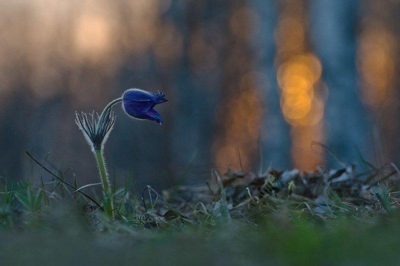 сон - трава, прострел, вечер, весна, закат, природа Магия вечераphoto preview