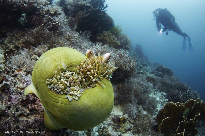 underwater phillipines blue deep diver anemone amphiprione Сладкая парочкаphoto preview