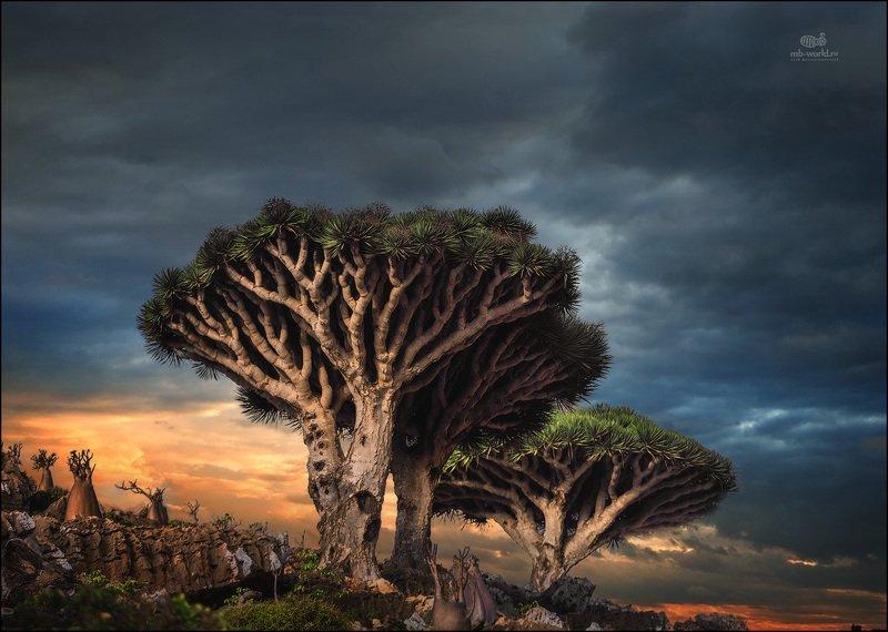 Йемен, Сокотра, драконовые деревья, пейзаж Драконовые деревья на закате дняphoto preview