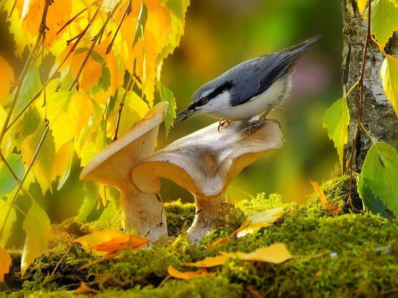 природа, фотоохота, поползень, птицы, животные, осень, листья березы Птицы и осень 3photo preview
