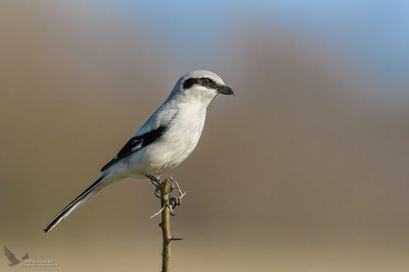 birds, nature, animals, wildlife, colors, spring, nikon, nikkor, lubuskie, poland Srokosz, Northern Shrike (Lanius excubitor) ... 2019rphoto preview