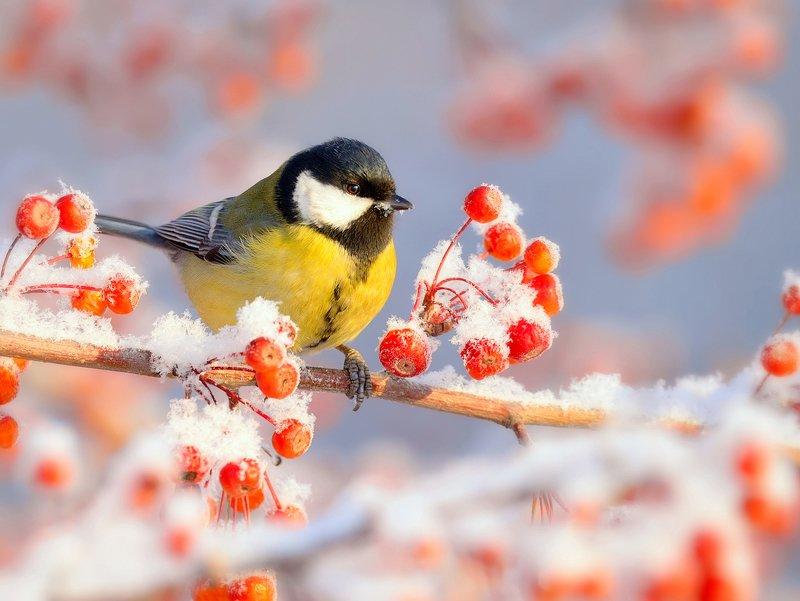 природа, фотоохота, большая синица, птицы, животные, В зимнем садуphoto preview
