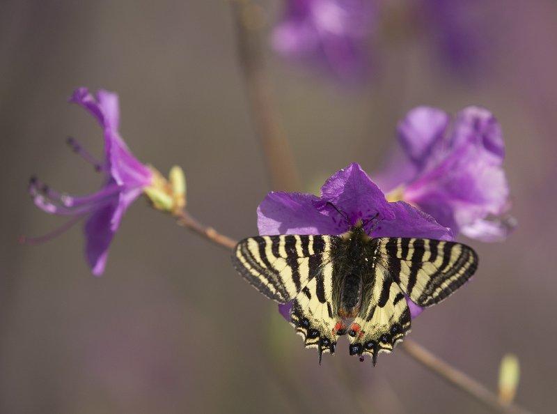 бабочка людорфия пуцило luehdorfia puziloi   рододендрон цветы приморье апрель Людорфия и рододендронphoto preview