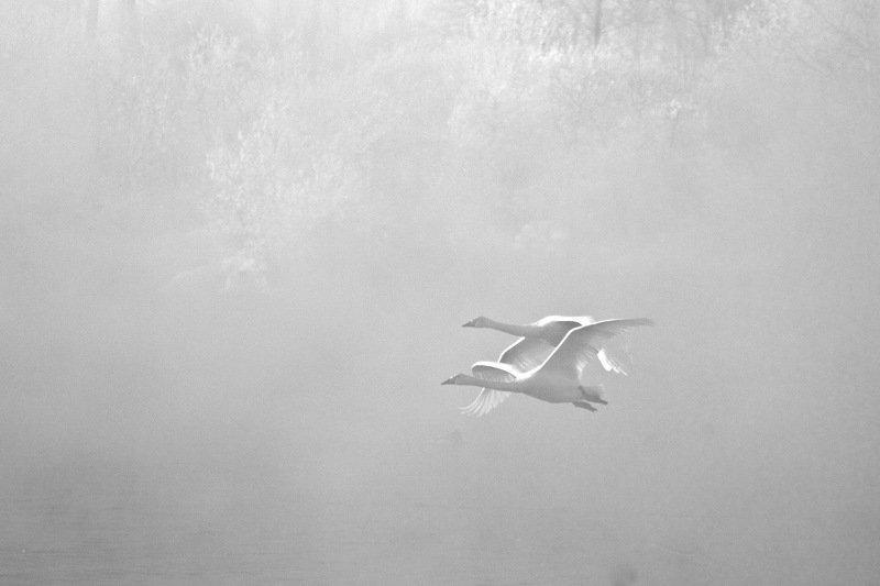 гуси-лебедиphoto preview