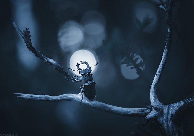 волшебство, гармония, жук,  ветви, луна, макро, мистика, ночь, олень, природа, силуэт, синий, сказка, сумерки, тайна, украина, фон, фотограф, коростышев, макро мир, мечтатель, макро красота, чорный Moonlightphoto preview