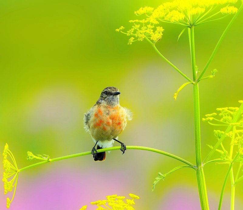природа, фотоохота,  птицы, животные, лето,чекан На солнечном лугуphoto preview