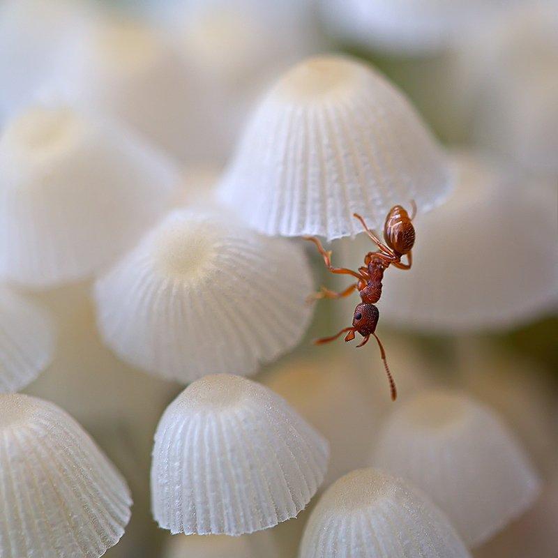 муравей, насекомое, грибы, природа, макро На распродаже зонтиковphoto preview