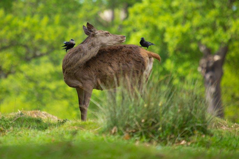 deer, red deer, wildlife, spring photo preview