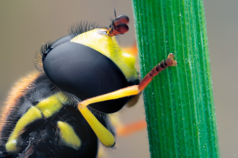 Syrphidae, macro, 5:1, bug Syrphidaephoto preview