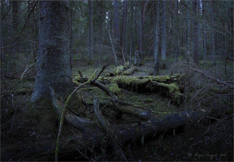 лес, ельник, валежник, сумерки, глухомань Зеленый крокодилphoto preview